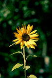 A single sunflower on a green background Royalty Free Stock Photo