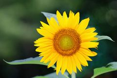 Single sunflower (helianthus annuus) Royalty Free Stock Image