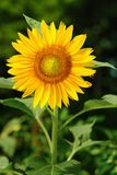 Single sunflower (helianthus annuus). Against a leafy background Royalty Free Stock Image