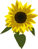 Single sunflower illustration Royalty Free Stock Image