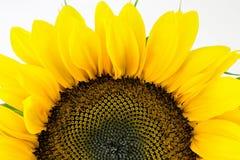 Single sunflower. Isolated over white background Stock Image