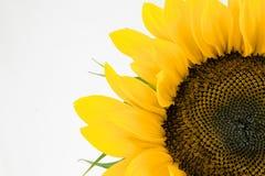 Single sunflower. Isolated over white background Stock Photos