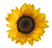 Single sunflower isolated on white background Royalty Free Stock Photography