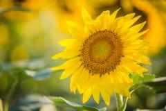 Single sunflower in Kansas field