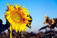 Single Sunflower Royalty Free Stock Photography
