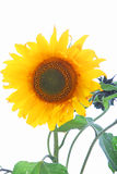 Single sunflower with leaves Royalty Free Stock Photography