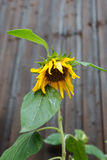 Single sunflower with lowered flower head on wooden fence backgr Stock Image