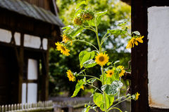 Single sunflower in old farm with houses covered with prussian w Stock Photography