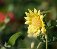 Single Sunflower. One lonely sunflower in the summer garden Royalty Free Stock Image