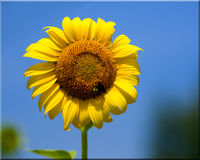 Single Sunflower Stem Against a Blue Sky Royalty Free Stock Images