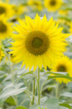 Single sunflower in sunflowers field. Single sunflower in sunflower field Stock Photo