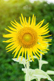 Single sunflower with sunlight Royalty Free Stock Images