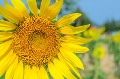 Single Sunflower in Thailand Royalty Free Stock Photography
