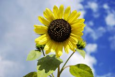 Single sunflower under the cloudy blue sky, close-up stock photography