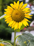 Single sunflower royalty free stock photo