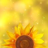 A single sunflower on a yellow background Stock Image