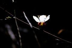 Single sunlit sakura flower on black Royalty Free Stock Photo