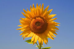 Single Sunny Sun Flower Stock Images