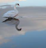 Single swan Stock Image