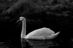 Single Swan B&W. B&W Picture of a beautiful swan on water Stock Image