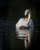 Single swan and cygnet Royalty Free Stock Images
