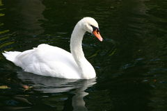 Single white Swan floating. Swan floating across the pond to meet its mate who was waiting on the other side Royalty Free Stock Photos