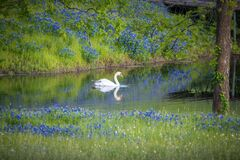 Free Single Swan In A Texas Pond Surrounded By Bluebonnets Royalty Free Stock Photos - 217559708