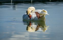 Single Swan with its mirror immage at lake constance stock photo