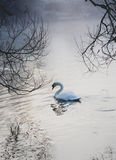Single swan on lake in cold misty fog weather Royalty Free Stock Photo