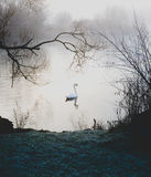 Single swan on lake in cold misty fog weather Stock Photo