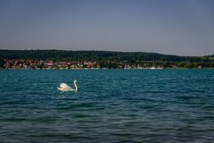 Single Swan on lake constance in front of green shore royalty free stock image