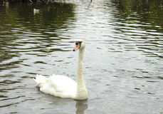 Single Swan On A Lake Royalty Free Stock Images