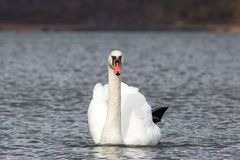 Single swan portrait front view in the lake swimming isolated Stock Images