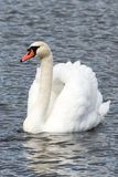 Single swan portrait in the lake swimming isolated Royalty Free Stock Photos