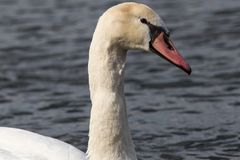 Single swan portrait neck only side view stock image