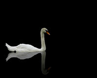 Single swan with reflection royalty free stock photos
