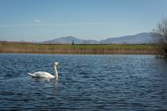 Swan. Single swan in shallow waters Royalty Free Stock Photo