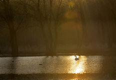 Single swan at sunrise Stock Image