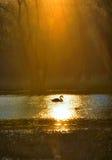 Single swan at sunrise Royalty Free Stock Images