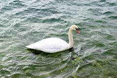 Single swan swimming on lake. A single swan is swimming on a lake with slightly rough waters. Its head is turned slightly towards the camera. Swimming to the stock photos