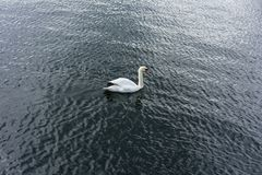 A single swan swims in lake water stock image