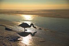 single swan in winter evening Stock Photos