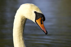 Single swans head. Kingsbury water park, England, uk royalty free stock image