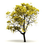 Single Tabebuia Chrysantha Tree Stock Images