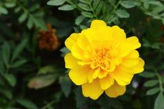 Single Tagetes Marigold Royalty Free Stock Photo
