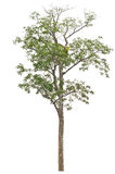 Single tall and beautiful tree. Stock Image