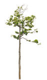 Single tall and beautiful tree. Royalty Free Stock Image