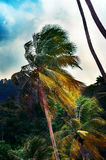 Single tall palm tree at a jungle in Trinidad and Tobago Stock Photo