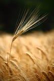 Single tall rye ear in field Stock Image