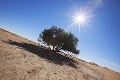 Single Tamarisk tree (Tamarix articulata) in the Sahara desert. Royalty Free Stock Photo